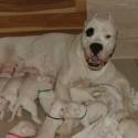 Szczenieta Dog ARgentynski Dogo Argentino